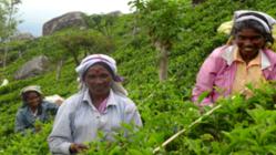 色が変わるブルーハーブティーで、スリランカ農家さんの力に!