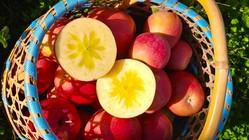 蜜たっぷり『葉取らずりんご』を絞ったジュースを製造します!