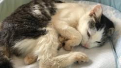 先天性疾患の保護猫 パンプキンを助けてあげたい!