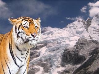 ヒマラヤに棲む幻の野生トラの映画化に向け現地調査を行いたい!
