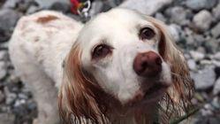 猟シーズンが終わる今、使い捨てにされた鳥猟犬に家族の温もりを