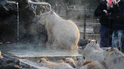 カピバラが温泉に!?湯田温泉のリラクゼーション効果はいかに。