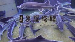 チョウザメ養殖という新たな地域産業が長野県長和町から始まる。