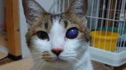 保護猫ぶちくんに目の手術をうけさせてあげたい