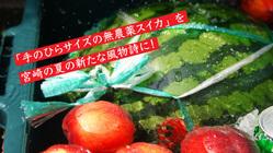 宮崎の夏を感じる「手のひらサイズの無農薬スイカ」への挑戦!