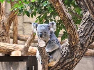 コアラを守りたい!~東山動植物園コアラ応援プロジェクト~