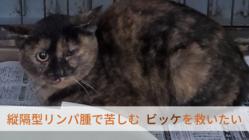 殺処分されるはずだったリンパ腫の猫「ビッケ」を救いたい。