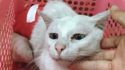 人間に捨てられた余命2年の猫白血病の白猫を最期まで看病したい