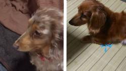 実家の乳癌の愛犬2匹の緩和ケア薬及び療養食の購入 手術不可