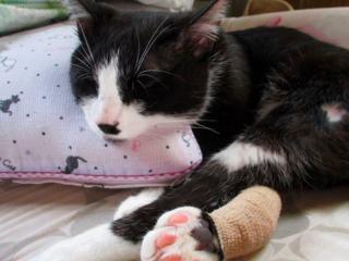 事故で重傷を負った猫のクロちゃんを再生医療手術で救いたい!