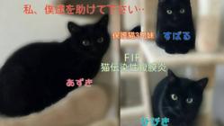 猫伝染性腹膜炎(FIP)を発症した保護猫3兄妹を助けたいです