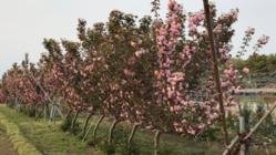 170年続く秦野の八重桜の里を守る[ジョイント八重桜PJT]