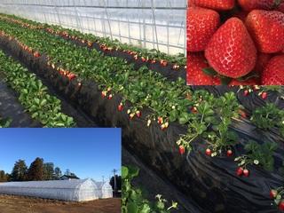 独自開発したおいしいイチゴで福島復興!大量生産を目指します!