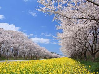 「菜の花元気プロジェクト」東北に菜の花を贈り届け、一面黄色い菜の花で彩りたい。