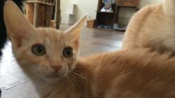 FIP(猫伝染性腹膜炎)を発症した子猫、ナツを助けたい