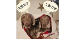 保護犬ワイマラナー☆太郎二郎の保護費のご協力お願い致します!