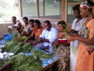 栄養満点「モリンガ」の生産でガーナに雇用を!そして多くの人に健康を届けたい!
