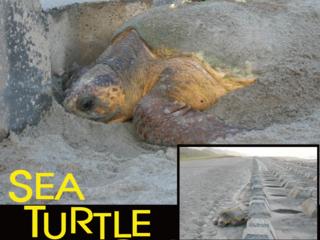表浜海岸でウミガメが安心して産卵できる砂浜を皆でつくりたい!