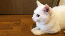 FIP (猫伝染性腹膜炎) 治療継続のため、力をお貸しください!