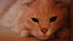 猫伝染性腹膜炎(FIP)を「不治の病」でなくすために