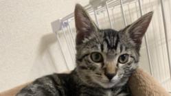 FIP(猫伝染性腹膜炎)の治療費のご支援ご協力のお願い。