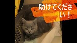 猫伝染性腹膜炎(FIP)に罹患したシェリーを助けてください!
