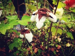 日本で唯一!和綿の魅力に触れられる場を都内に復活させたい!