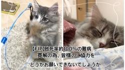 【FIP(猫伝染性腹膜炎)】治療費のご支援ご協力のお願いです。