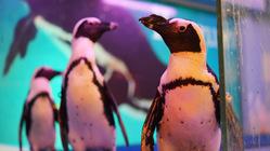 創業15年のペンギンバー沖縄/東京のペンギンを救ってほしい。