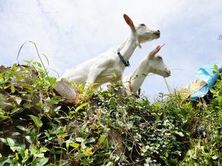 山羊による除草を福岡県黒木町で行い、地域に貢献したい!