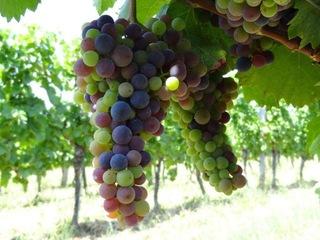 オーストリアのブドウから始まる新たな加賀友禅への挑戦!