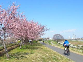 60年間枝が伸び放題の30本の桜を剪定!二子玉川の桜を残したい!