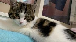 【再チャレンジ】猫伝染性腹膜炎(FIP)治療ご支援のお願い