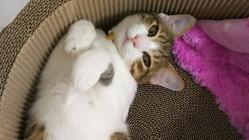 ハルを助けたい!致死率99%のFIP(猫伝染性腹膜炎ドライ後期)