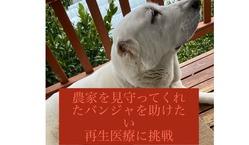 【後ろ脚麻痺・排尿障害】超大型犬バンジャに再生医療を。