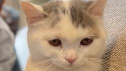 難病FIPの子猫の治療を続けて命を救いたい。