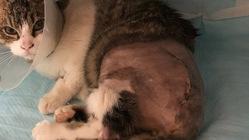 交通事故にあって骨盤骨折した猫ちゃんの医療費ご支援のお願いです!