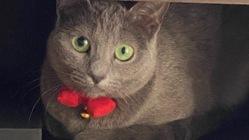 FIP(猫伝染性腹膜炎)と網膜剥離を併発した愛猫「マナ」を助けたい