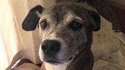 元保護犬ムーンちゃんの足をどうしても治したい