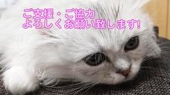 猫伝染性腹膜炎(FIP)マシュの治療費のご支援ご協力のお願いです。