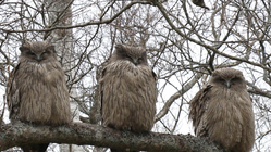 絶滅危惧種シマフクロウの未来を守りたい。給餌活動・調査にご支援を!