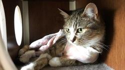 【横隔膜ヘルニアと骨盤骨折】保護猫の手術・治療費のご支援を!