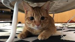 リンパ腫と闘う保護猫オリバーの治療のため助けてください!