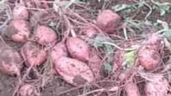 しっとり甘い!種子島産安納芋づくりの存続を確立したい