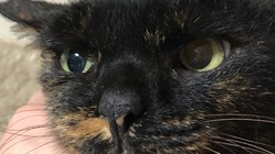 怪我をしてた慢性腎不全の野良猫くりちゃんを助けて!