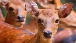 香取の鹿を護りたい