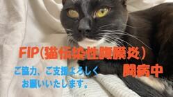 愛猫こはるの猫伝染性腹膜炎(FIP)治療費のご協力を願います。