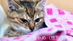 倒れていた仔猫を保護、小さな命を守るため医療費支援をお願いします。