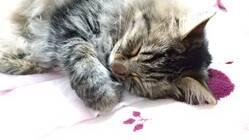 猫白血病による悪性リンパ腫の治療費のご支援をお願いいたします。