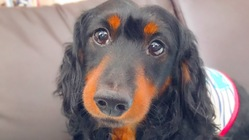 (環軸亜脱臼の手術費用)愛犬えびぞうを助けていただけないでしょうか